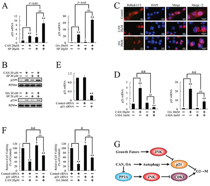Regulation of p21 expression by cantharidin and OA in PANC-1 cells.