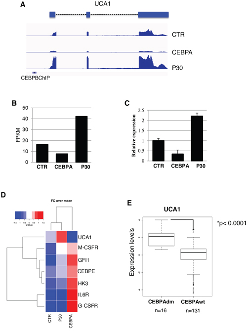 UCA1 expression levels in K562 cell lines and AML patients with CEBPA mutations.