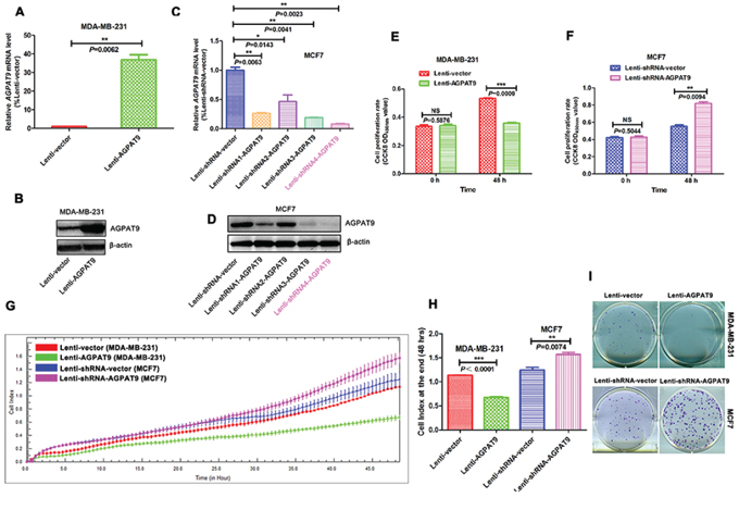 AGPAT9 inhibited breast cancer cell proliferation and clonogenicity in vitro.