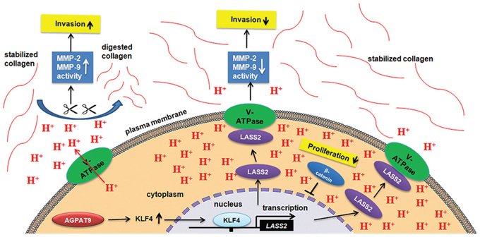 Effect of AGPAT9 on the Wnt/β-catenin pathway.