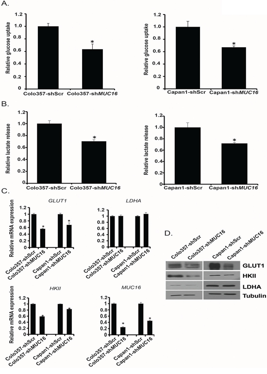MUC16 knockdown diminishes glycolytic activity and glycolytic gene expression.