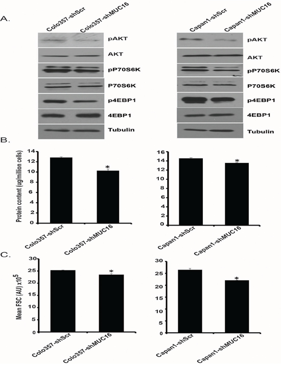 MUC16 knockdown reduces Akt and mTORC1 activation.