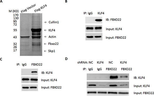 FBXO22 interacts with KLF4 in vivo.