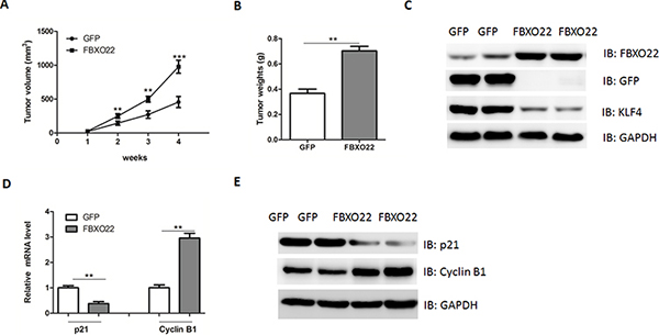 FBXO22 promote HCC growth in vivo.