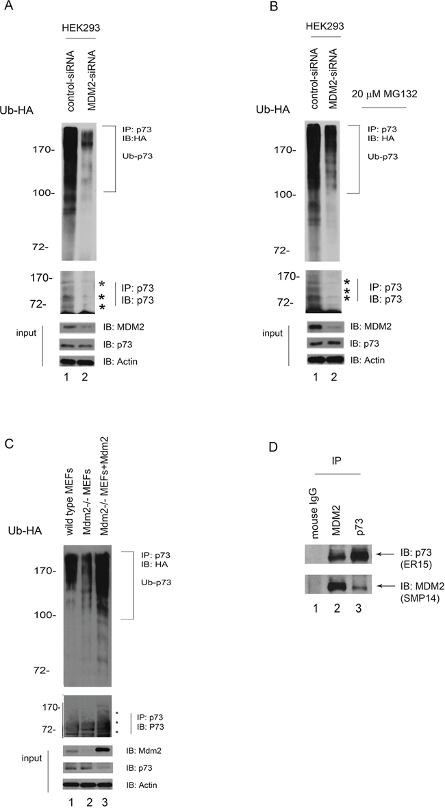 MDM2 is required for p73 ubiquitination in vivo.