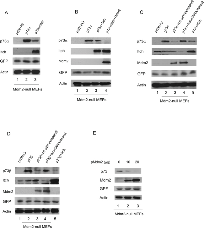 Overexpression of Mdm2 promotes p73 degradation in Mdm2-null MEFs.