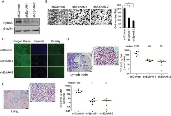 EphA6 knock-down in PC-3M CaP cells leads to low metastatic potential.
