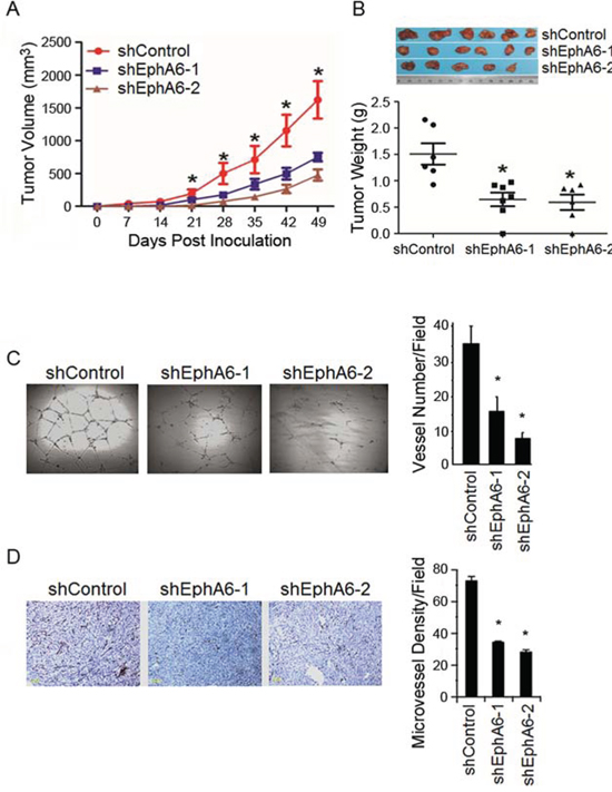 Knock-down of EphA6 decreases tumor angiogenesis.