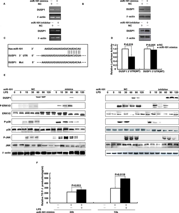 DUSP1 is a direct target of miR-101 and miR-101 regulates the LPS-induced activation of p38 and JNK.