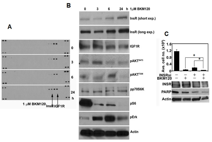 PI3K inhibition in MCF7 cells results in compensatory upregulation of InsR.