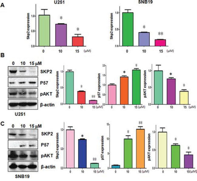 Curcumin downregulated Skp2 expression at RNA and protein levels.