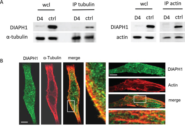 DIAPH1 co-localizes with actin and α-tubulin in non-stimulated HCT-116 cells.