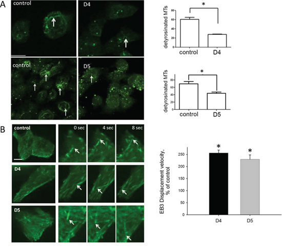 DIAPH1 stabilizes microtubules and reduces microtubule dynamics.