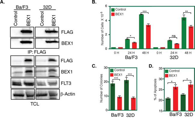BEX1 expression inhibited cell proliferation, colony formation and enhanced apoptosis.