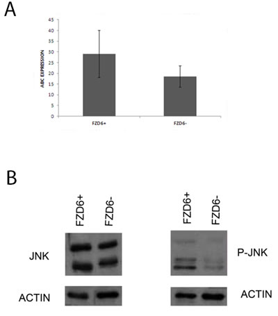 Fzd6 expression is associated to activation of the non-canonical Wnt pathway.