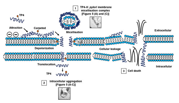 Proposed mechanism of action of TP4 against