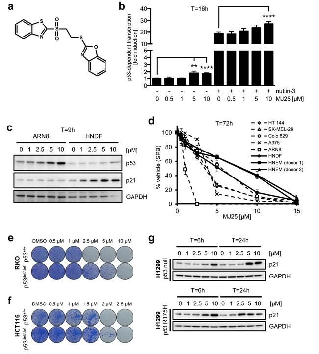MJ25 activates p53 and eradicates melanoma cells in culture.