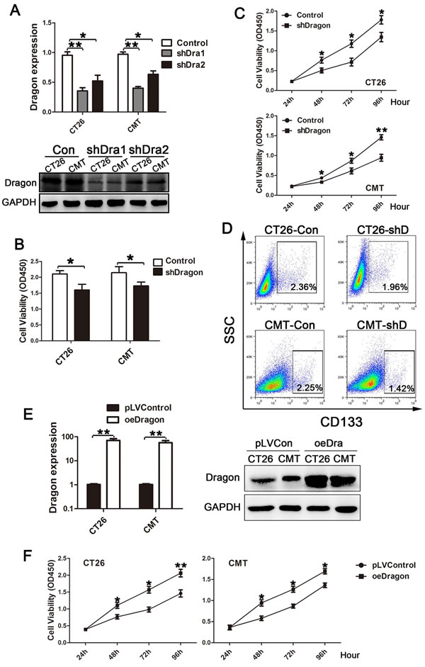 Effects of Dragon knockdown and overexpression on colon cancer cell proliferation.