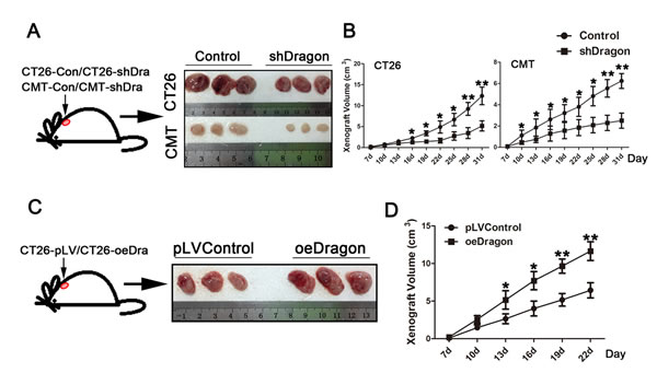 Effects of Dragon knockdown and overexpression on tumor growth in