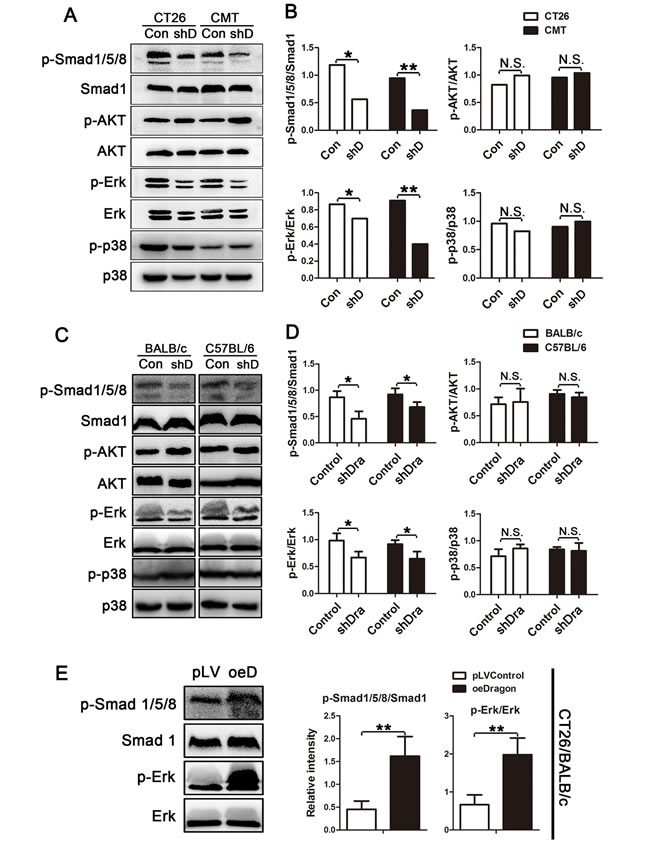Effects of Dragon inhibition and overexpression on Smad1/5/8, AKT, Erk1/2 and p38 phosphorylation in colon cancer cells.