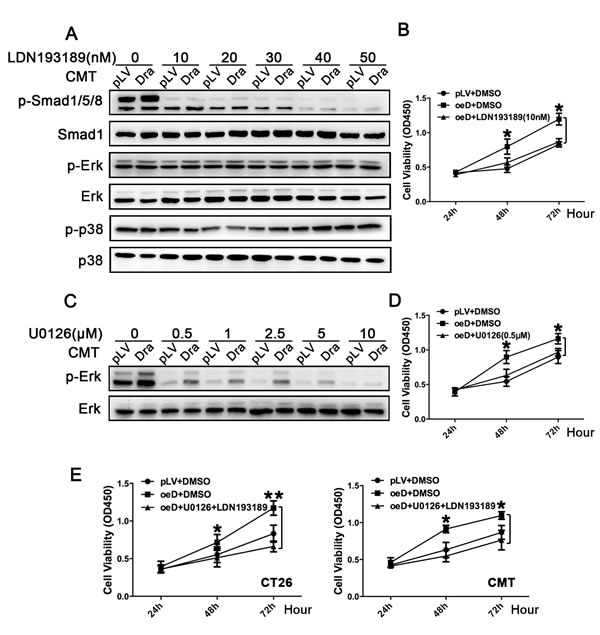 Effects of inhibition of the BMP-Smad1/5/8 and Erk1/2 pathways on colon cancer cell proliferation induced by Dragon.
