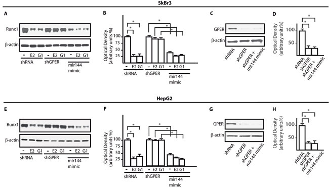 GPER and miR144 are involved in the down-regulation of Runx1 protein expression induced by E2 and G-1.
