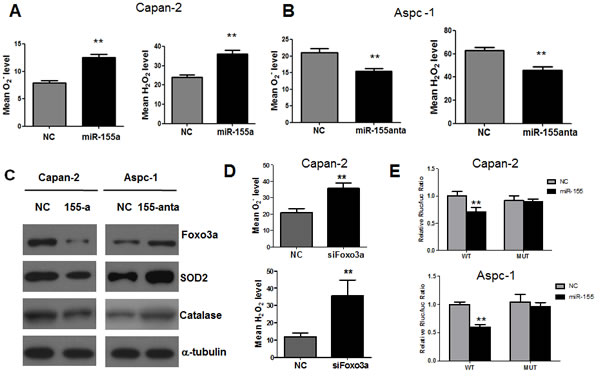 MiR-155 causes inhibition of Foxo3a and subsequent increase of ROS generation in pancreatic cancer cells.