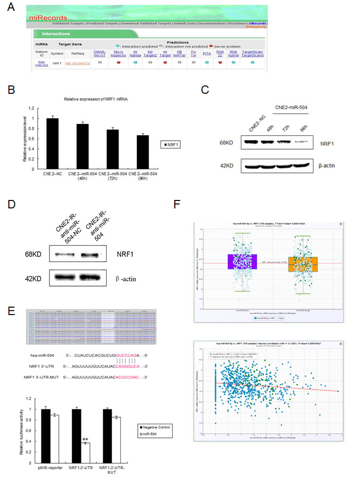 miR-504 directly targets NRF1 and down-regulates the expression of the TFAM and OXPHOS complexes.