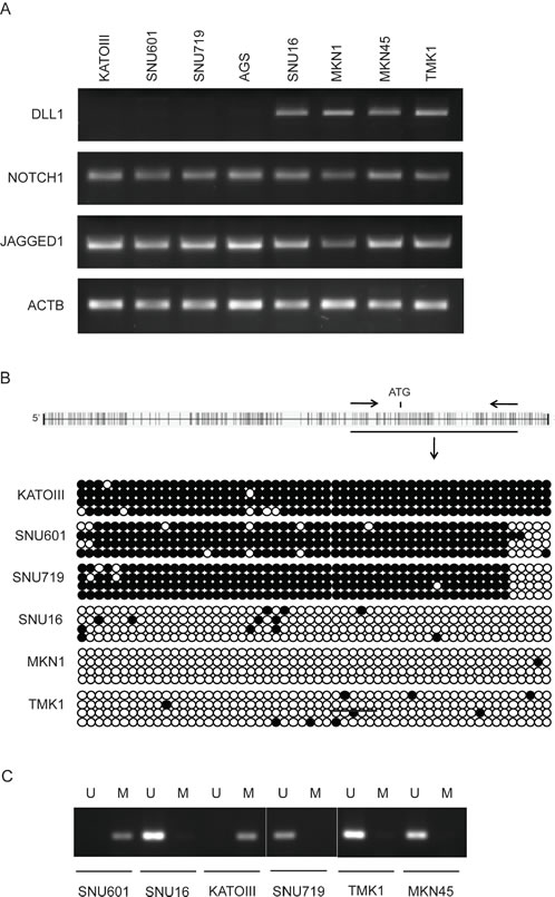 DLL1 expression and promoter methylation in GC cell lines.