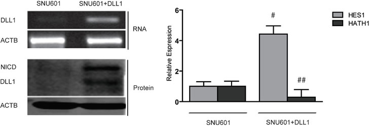 Over-expression of DLL1 in SNU601.