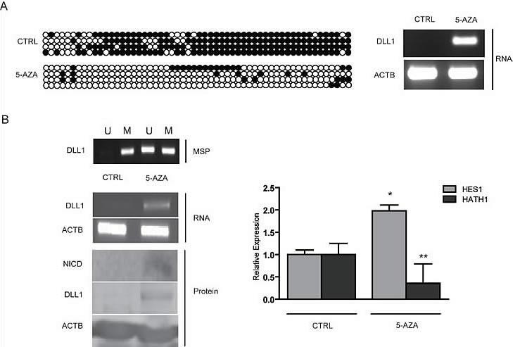 Treatment with 5-aza-2'deoxycitidine on GC cells.