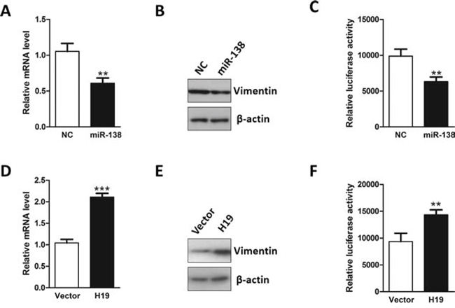 H19 functions as a sponge for Vimentin-targeting miRNA.