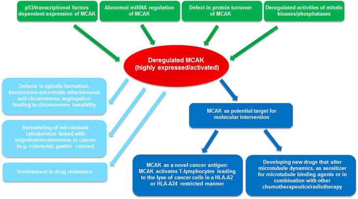 Summary of MCAK's involvements in oncogenesis.