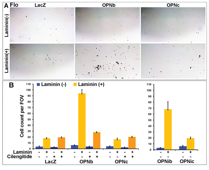OPNb- and OPNc-expressing cells differ in cell adhesion and their response to RGD integrin inhibition.