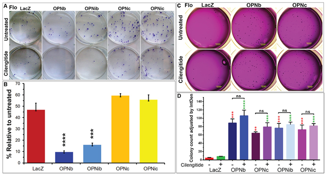 Integrin inhibition differentially influences cell growth in 2-D and 3-D cultures of OPNb- and OPNc-expressing cells.