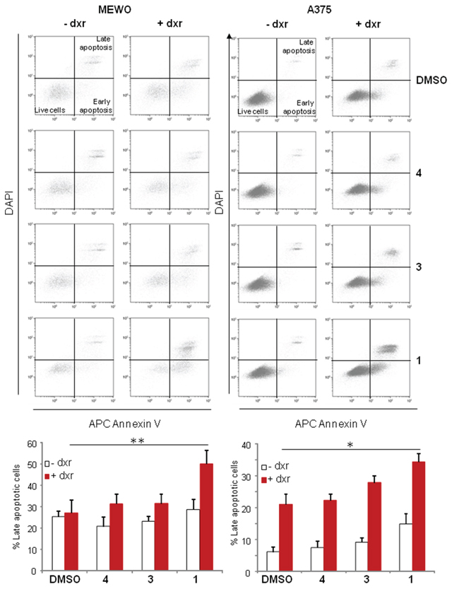 Panicein A hydroquinone strongly increases the number of apoptotic melanoma cells.