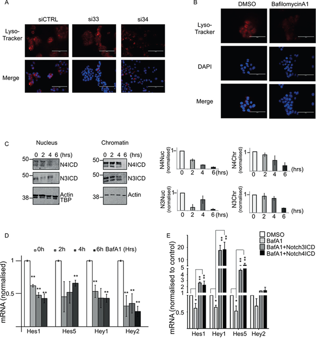 DMXL2 depletion is mirrored by V-ATPase inhibition.