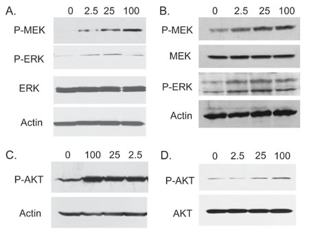 FGF23 activates MAP kinase and AKT pathways in PCa cells.