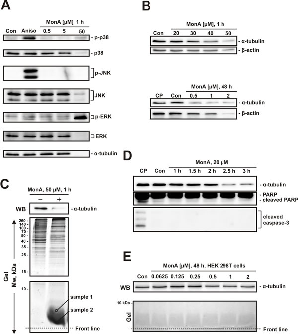 Effect of MonA on activation of MAPK and protein degradation.