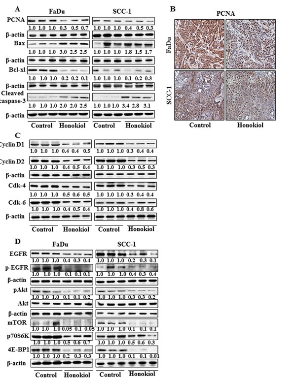 At the termination of tumor xenograft experiment, tumor tissues were harvested and tumor lysates were prepared for the analysis of various proteins associated with apoptosis, cell cycle regulatory proteins, EGFR and mTOR signaling pathways using western blot analysis.