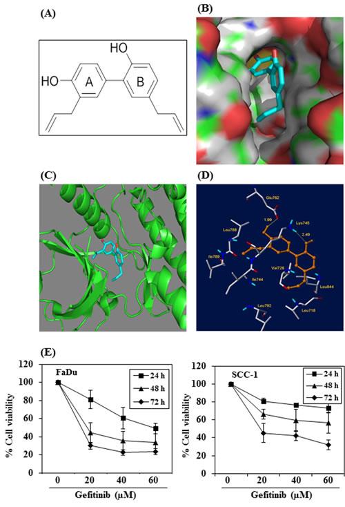 Molecular docking analysis of honokiol with EGFR.