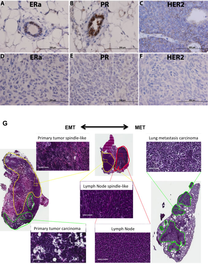 JygMC(A) mammary primary tumor molecular phenotype, histology and EMT-MET plasticity.