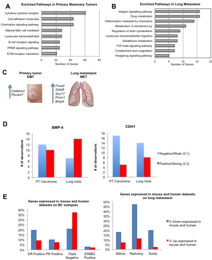 Relevant pathways, gene and protein expression in primary tumors and lung metastasis and similarities with human breast cancer.