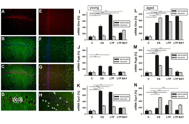 Effect of glycogen phosphorylase (Pygb) inhibition on mRNA expression of key metabolic enzymes following LTP depends on cell type and age.