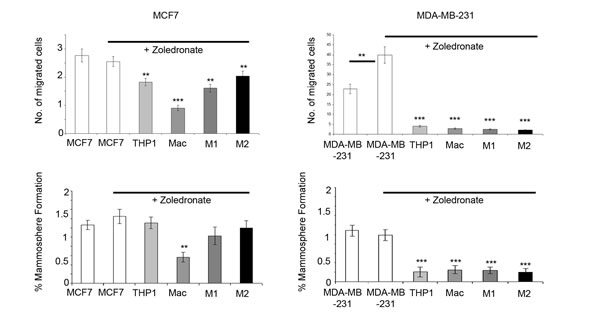 Targeting macrophages with Zoledronate reduces breast cancer cell migration and mammosphere formation.