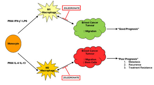 Zoledronate targets the pro-tumourigenic macrophage microenvironment.