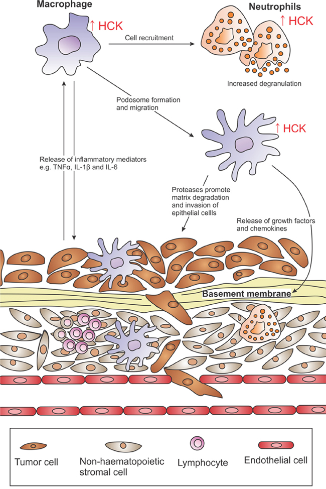 HCK activation in the tumor microenvironment.