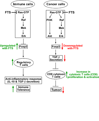 Proposed mechanism explaining the differential effects of Ras inhibition on immune and cancer cells.