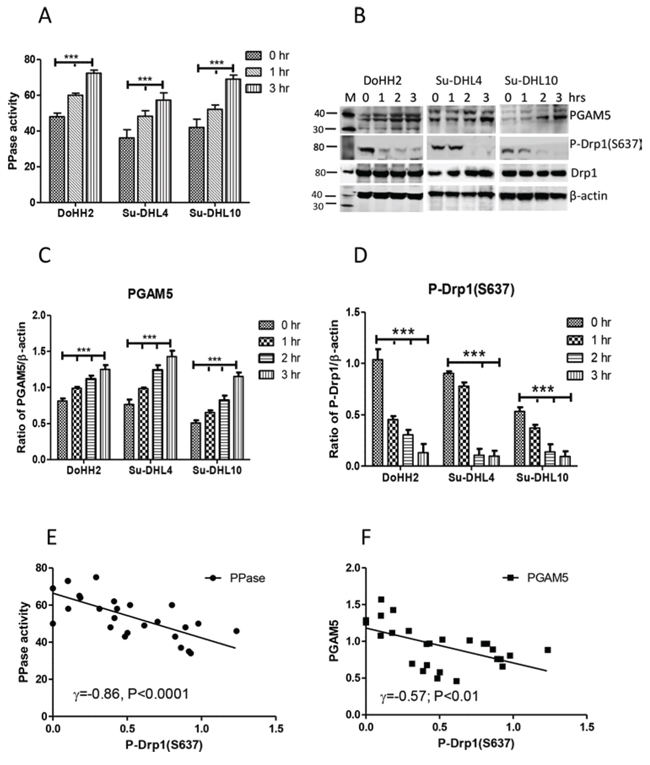 The association between PGAM5 activation and DRP1 dephosphorylation.
