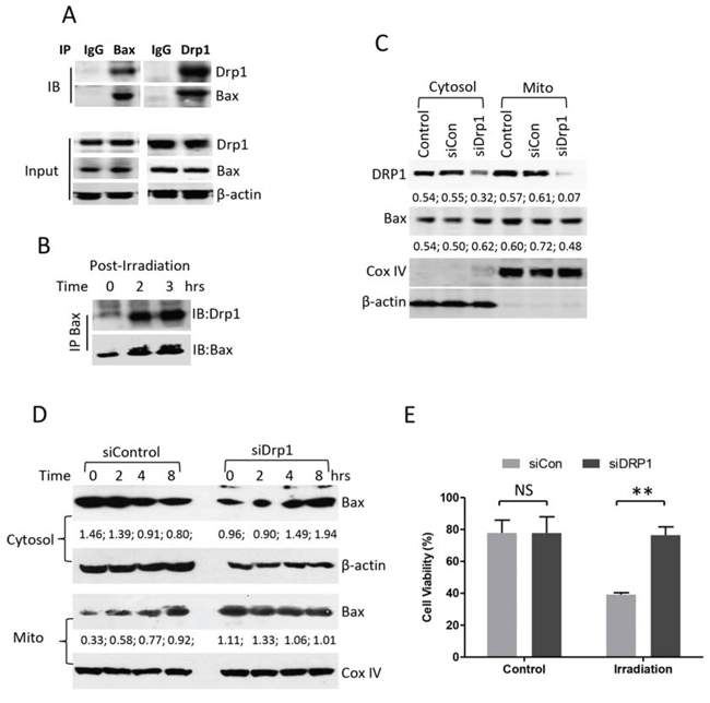 Effect of Drp1 on Bax mitochondrial translocation.